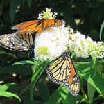 Butterfly Bush in garden with many Monarch butterflies