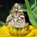 Painted Lady Butterfly in the garden