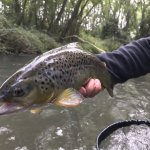 chunky spanish trout