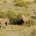 Cheetah walk N/a'ankuse Wildlife Sanctuary Namibia