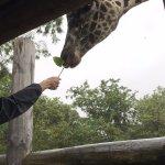 Feeding Giraffes (extra charge)
