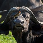 The African buffalo is one of the most successful grazers. It lives in swamps and floodplains