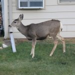 Deer in local neighborhood near Ramada