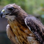 Thor, the red tailed hawk.