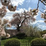 Oldest Cherry Blossom Tree at Maruyama Park