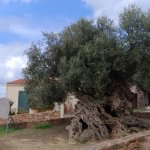 Photo of Olive Tree Museum