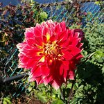 Dahlia blooming in October