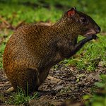 Central American agouti. Photographed in Curi-Cancha Reserve, Monteverde, Costa Rica.