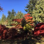 Maple tree, the color is only in the fell