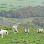 Sheep is the new coal at Cornsay Colliery