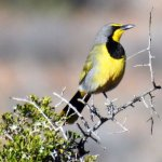 The vivid yellow of the beautiful Bokmakirie in the bush at the Karoo National Park