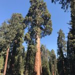 Giant Sequoia in front of museum