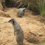 Meerkat (best seen from bottom path)