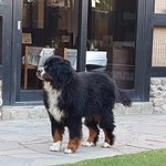 Beethoven, the Bernese mountain dog