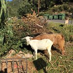 View from apartment and local goats at the end of the road!