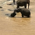 Photo de Pinnawala Elephant Orphanage
