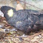 Yellow tailed cockatoo