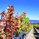 Cab sauv grapes ready for harvest