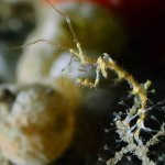 Caprella sp. (skeleton shrimp)