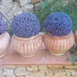 Beautiful lavender pots decorate the scenic grounds.