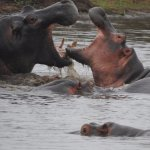 Hippos within two minutes of Lower Sabie