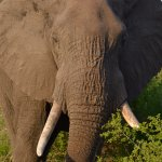 Lower Sabie - Elephant