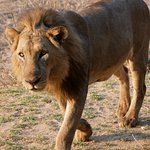 Male lion just outside Bilimungwe