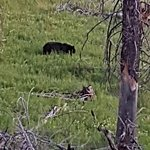 Uncooperative Black Bear. No smile for Camera.