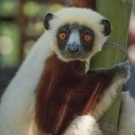 Sifaka visiting at tea in the Oasis
