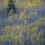 aspens near telluride, CO ~ 10/7/2017