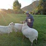 Still hungry sheep