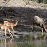 Nyala male and Impala at Tembe waterhole