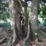 One of many gigantic magnolia trees near the Italian garden
