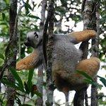 Diademed Sifaka, one of the rarer lemur species
