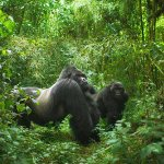 Shy Endangered Mountain Gorillas