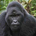 Silverback Gorilla in Bwindi Impenetrable Forest