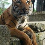 The new tiger exhibit