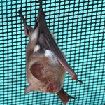 Small Leaf Nosed Bat