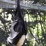 Snoozing Adult Spectacled Fruit Bat