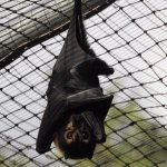 Spectacled Fruit Bat