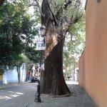 """Este """"gigante"""" engalana con su presencia la Avenida Francisco Sosa"""