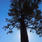 John Muir planted this sequoia tree.