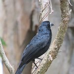 Black Butcher bird