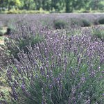 Beautiful lavender from the lavender farm.