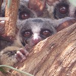 Bushbabies that live in the grounds
