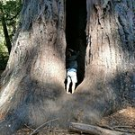 Huge tree that you can walk into.