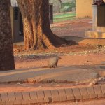 mongoose family in the grounds