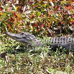 Gator Seen From Cruise Boat