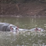 Hippos relaxing in a pond.