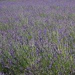 Bild från Lavender By The Bay